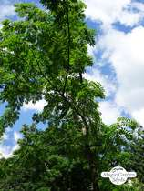 Service tree (Sorbus domestica) - bulk quantity (10g / approx. 200 seeds) #1