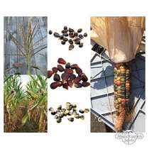 'Native American sweet corn/ maize' seed kit #2